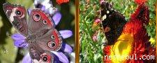 Kelebekler Benzerlikler